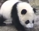 11 Giant Panda Facts For Kids