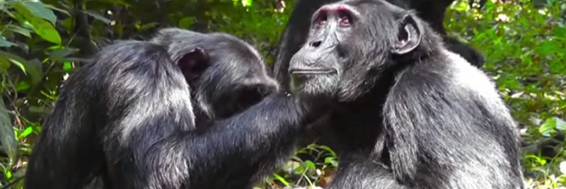 6 Chimpanzee Facts For Kids