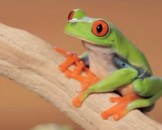5 Red Eyed Tree Frog Facts For Kids