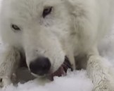 7 Arctic Wolf Facts For Kids