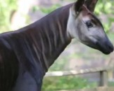 10 Okapi Facts for Kids