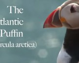 17 Puffin Facts for Kids