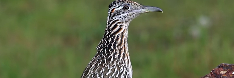 8 Roadrunner Facts for Kids