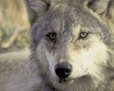 45 Grey Wolf Facts for Kids