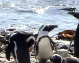 Important African Penguin Facts for Kids