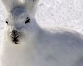 Arctic Hare Facts for Kids