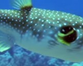 10 Puffer Fish Facts For Kids