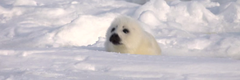 3 Harp Seal Facts For Kids
