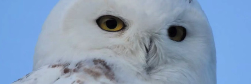 3 Snowy Owl Facts For Kids