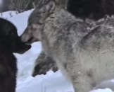 4 Gray Wolf Facts For Kids