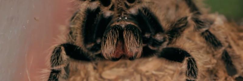 4 Tarantula Facts For Kids
