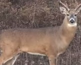 4 White Tailed Deer Facts For Kids