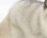 5 Arctic Fox Facts for Kids