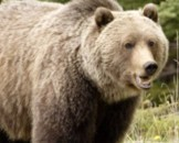 5 Grizzly Bear Facts for Kids