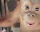 5 Orangutan Facts For Kids