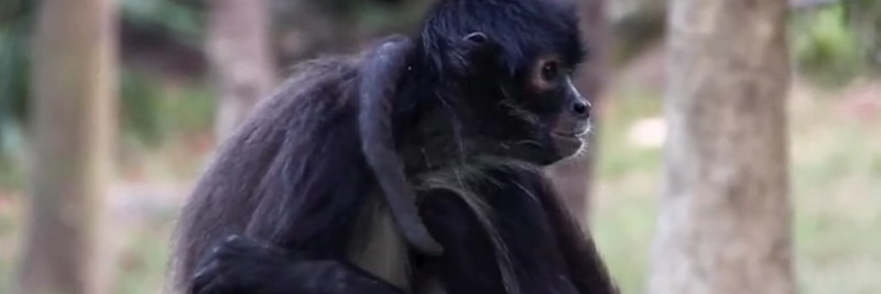 6 Spider Monkey Facts For Kids