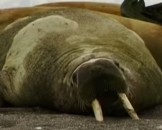 7 Walrus Facts For Kids