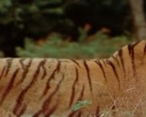 9 Bengal Tiger Facts For Kids