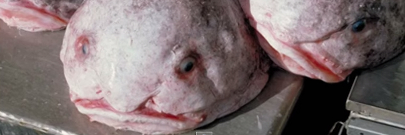 14 Blobfish Facts for Kids