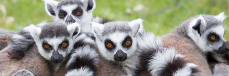 8 Lemur Facts for Kids