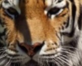 9 Siberian Tiger Facts for Kids