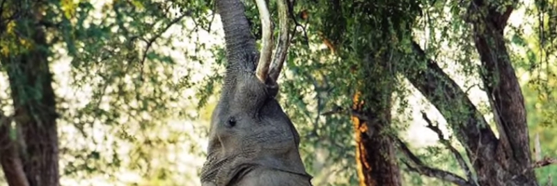 4 Asian Elephant Facts for Kids