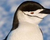 Amazing Chinstrap Penguin Facts for Kids